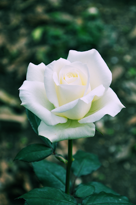 Rosa Blanca En Macro Photo Beautiful Rose Flowers Beautiful Flowers White Roses