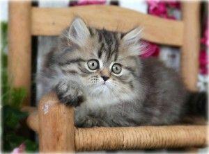 Tabby Persian Kittens For Sale Persian Kittens Angora Cats Teacup Kitten
