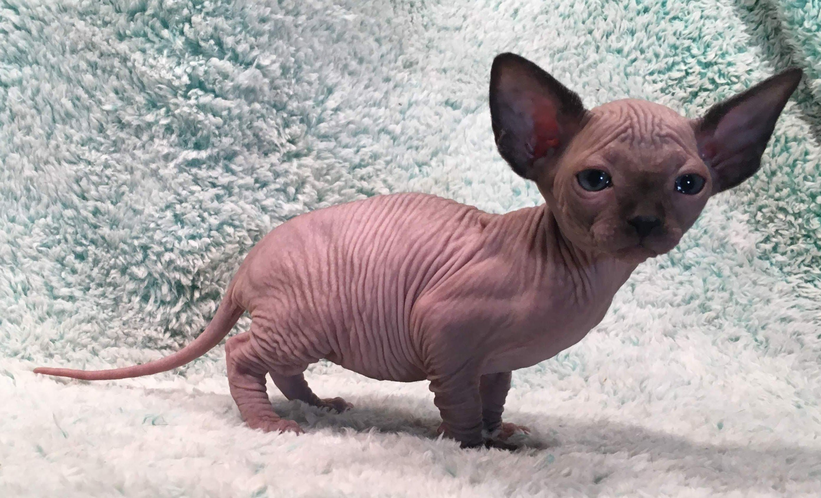 Pin By Kendallardan On Cute Baby Animals Baby Animals Cute Baby Animals Sphynx Kittens For Sale