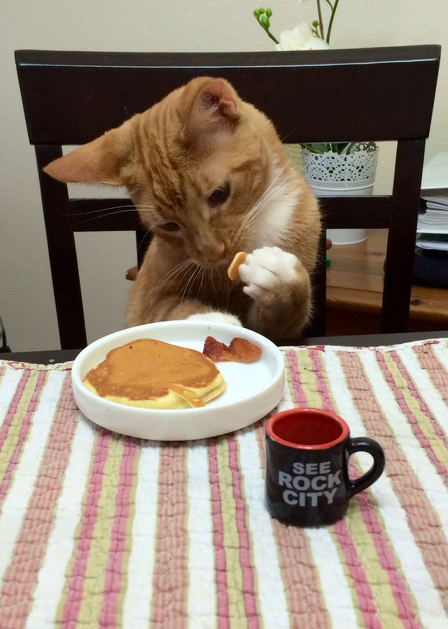 Cats eating dinner at the table cats funny animal