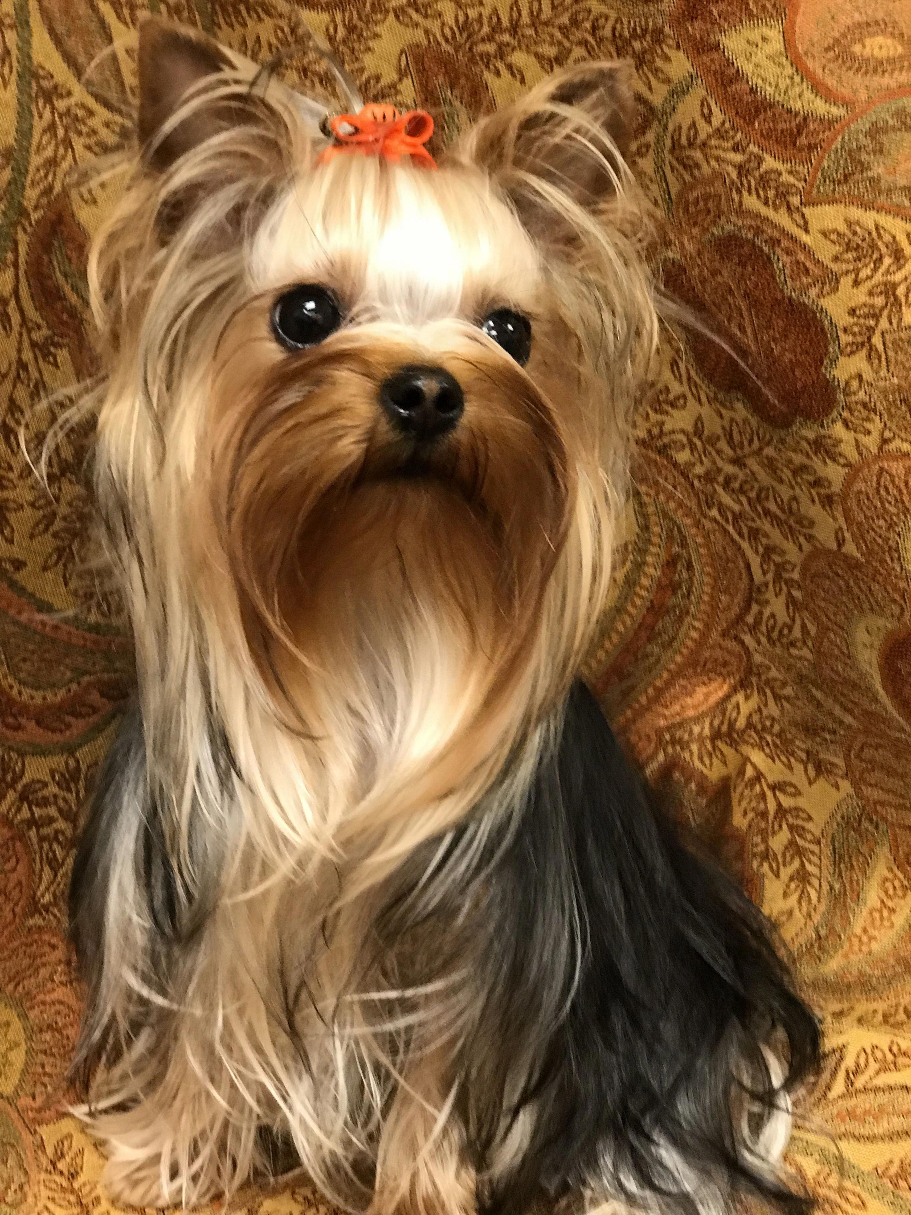 You Have Actually Probably Seen Them In Canine Food Commercials Or Your Community Park They Yorkshire Terrier Yorkshire Terrier Puppies Yorkshire Terrier Dog