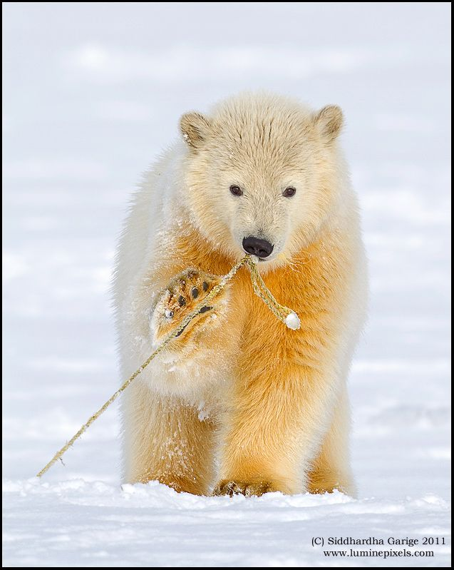 Polar bear cub Play time