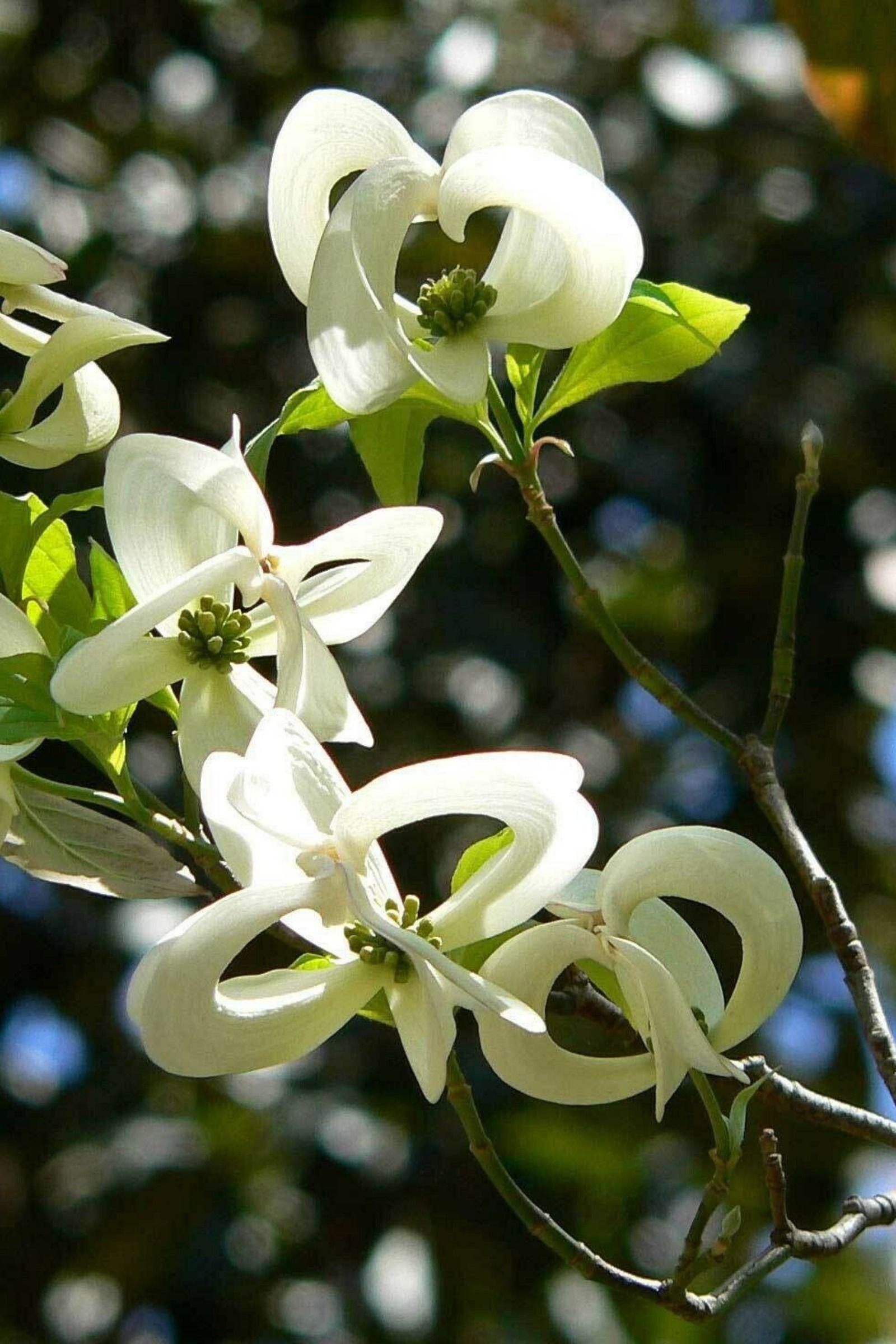 Cornus Florida Urbiniana Magic Dogwood Mexican Flowering Dog Wood 5 Seeds Rare Flowers Dogwood Mexican Flowers
