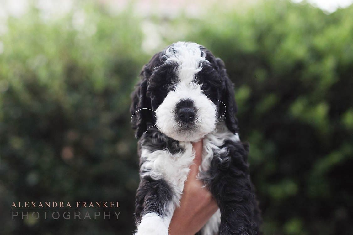 Labradoodle Puppy Black And White Black Labradoodle Labradoodle