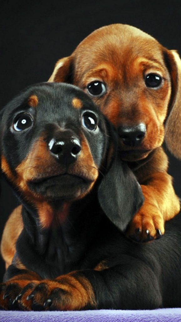 Awww they call it puppy love - dachshund ♥ ♥