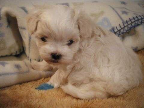 Litter Of 3 Maltese Puppies For Sale In Kansas City Ks Adn 26945