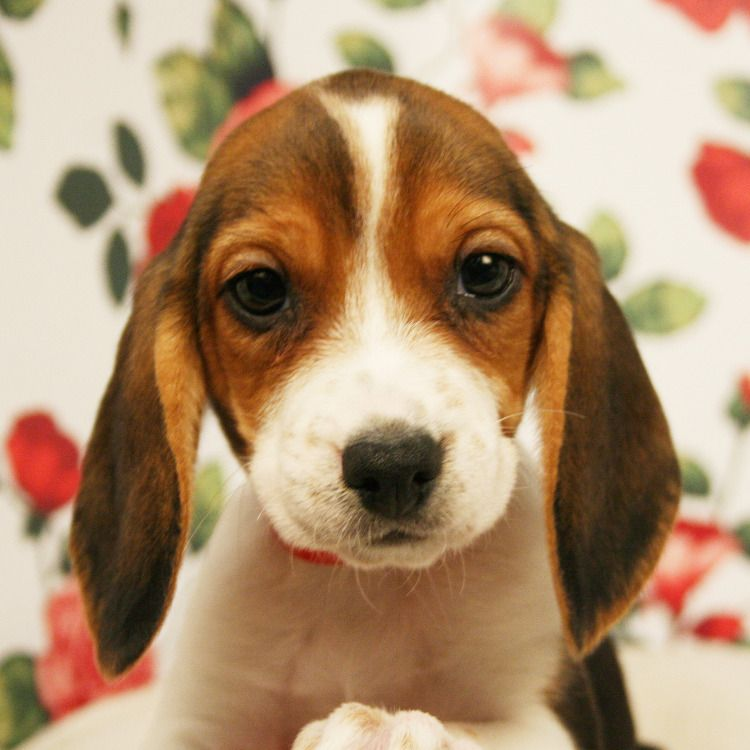 Beagle Puppies For Sale Beagle Puppy Bulldog Breeds Puppies