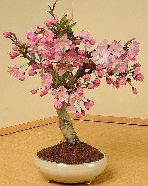 桜盆栽Cherry Blossoms:Sakura-bonsai