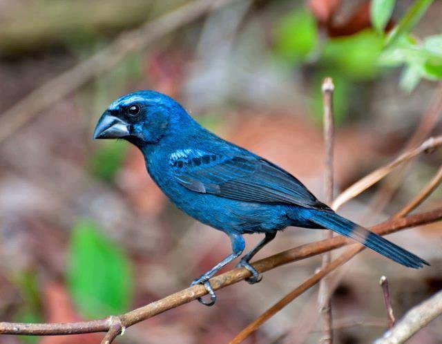 Conhecido Brasil Preservação Ambiental Azulão (macho). Em Registro-SP | 1  FW11