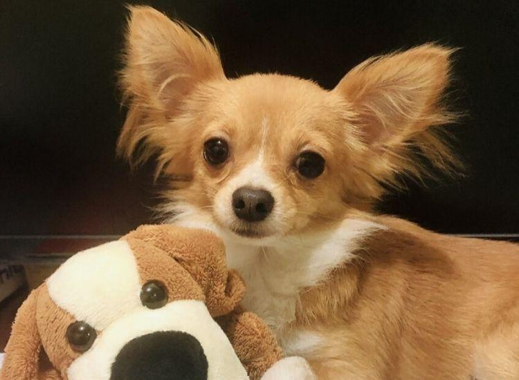 Chi Of The Month February 2020 White Chihuahua Chihuahua