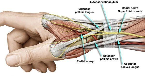 Anatomical Snuff Box | A. Q Rabbi Physio Knowledge | Pinterest ...