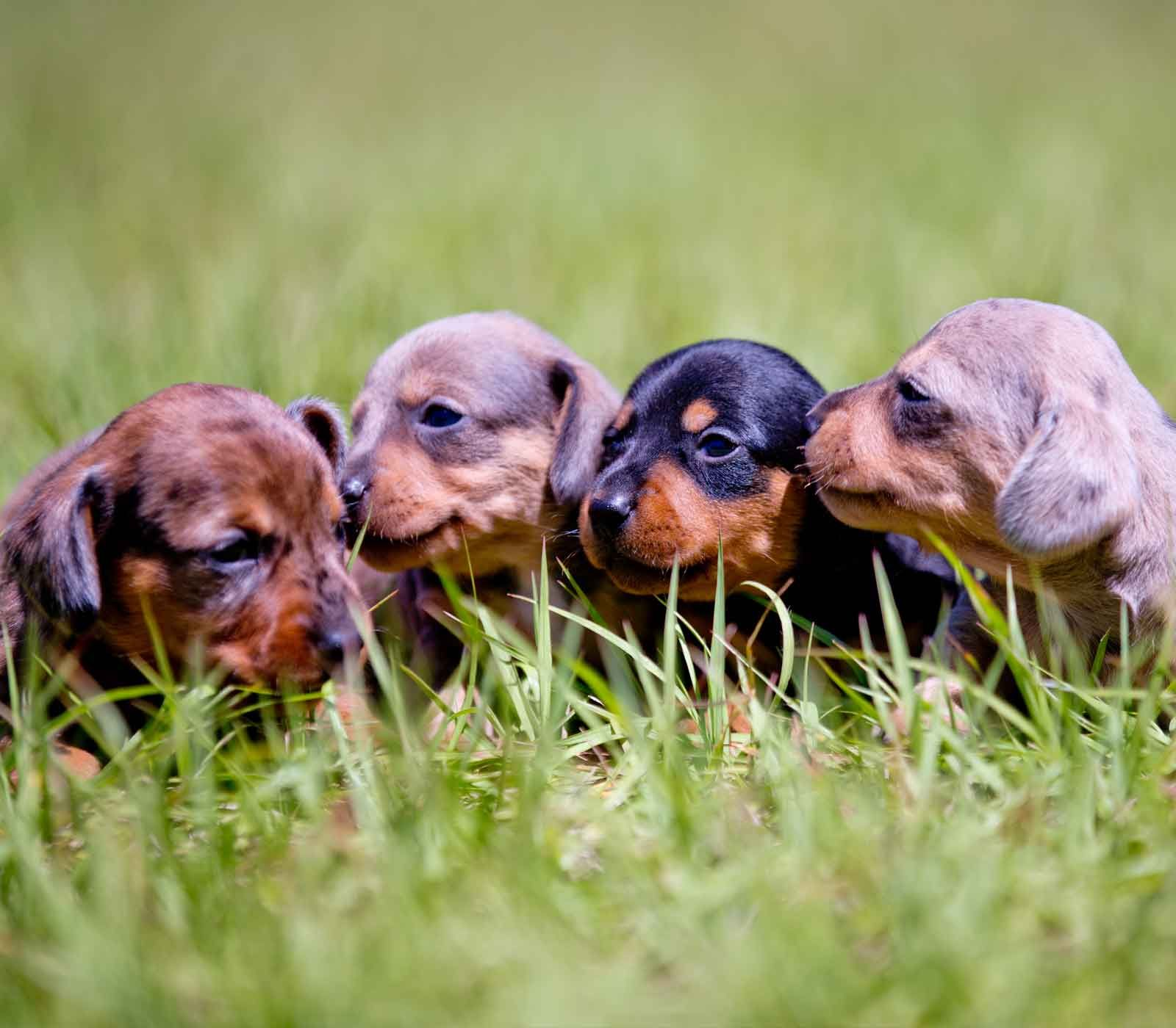 Little doxies miniature dapple dachshund puppies for