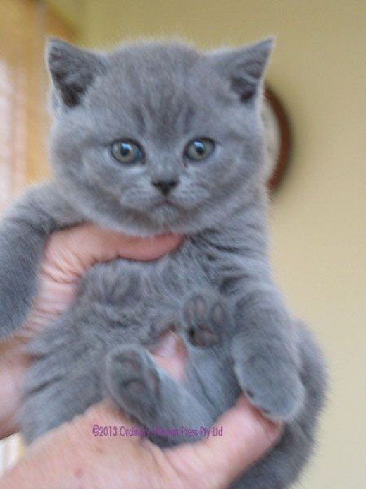 White British Shorthair Cat Breeders