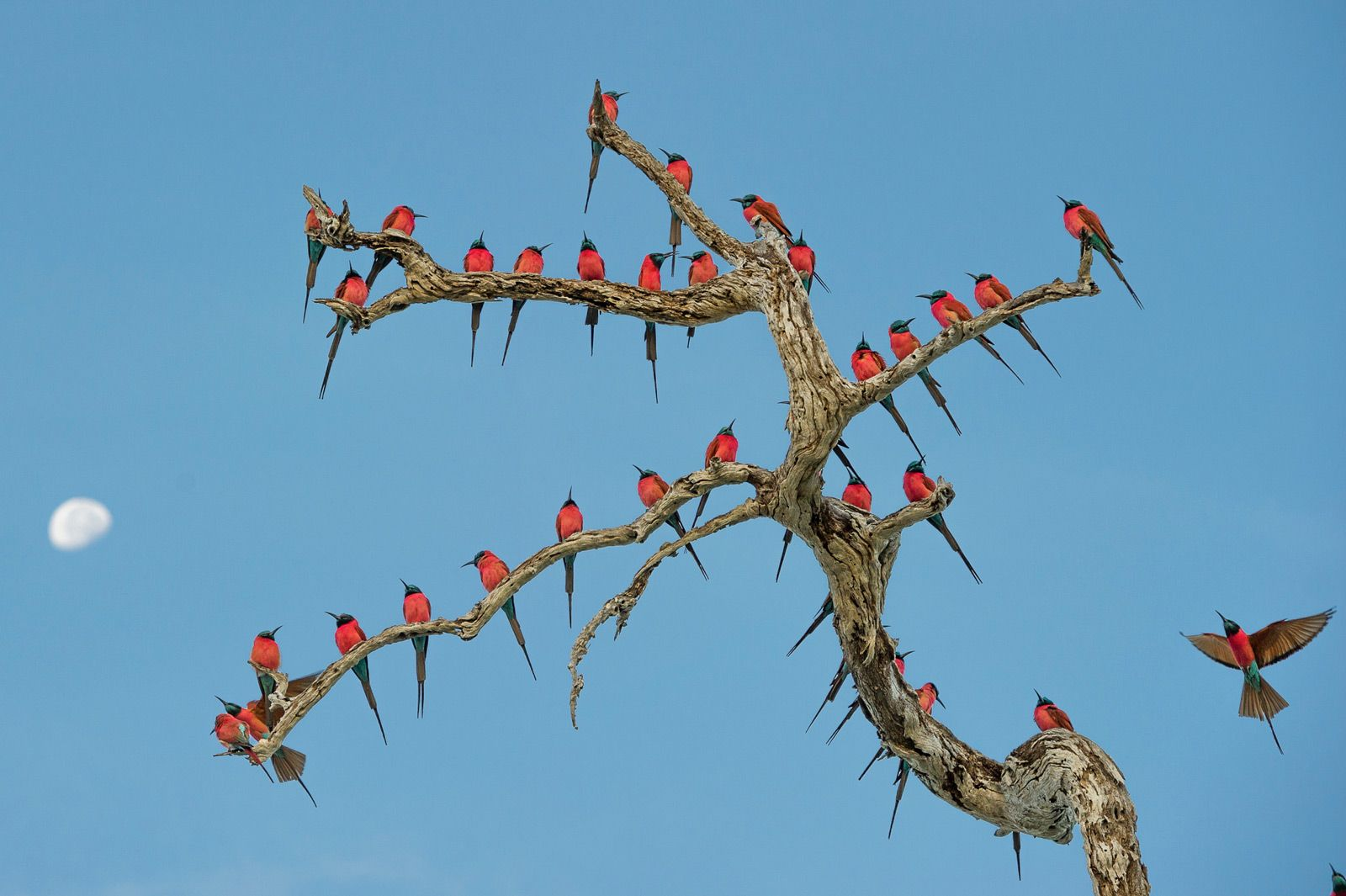 The northern carmine bee-eater is a seasonal visitor to the Selous, often found roosting in great numbers on trees and bushes in and around lakes and rivers.