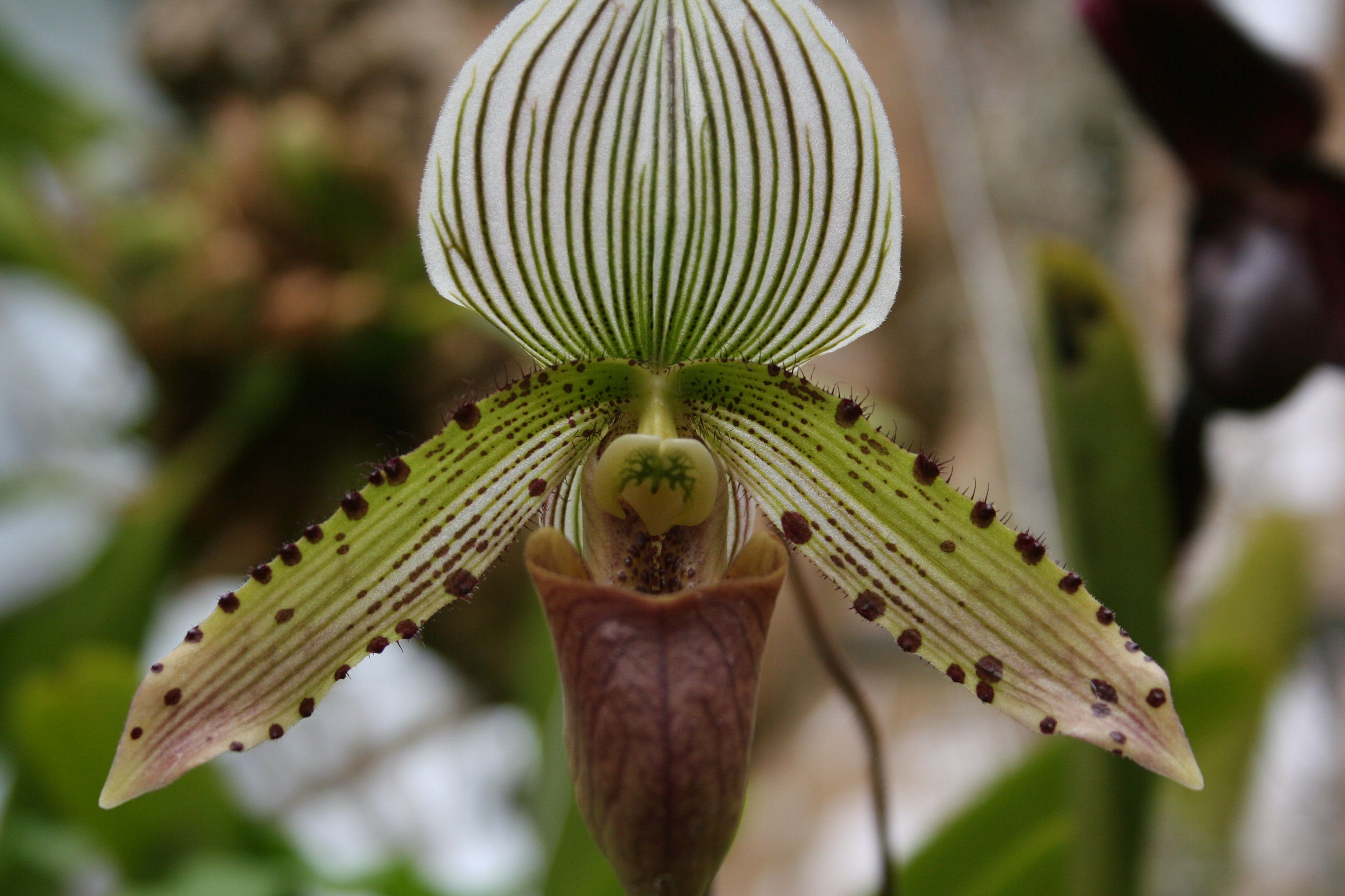 Orchid, Paphiopedilum (commonly called  Lady Slipper) cultivar name unknown. Photo by Chuck Eirschele