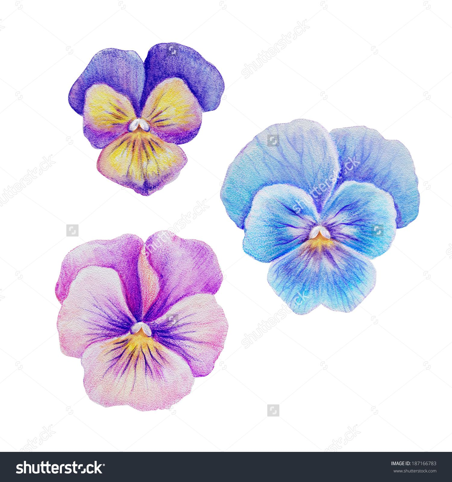 Stock Photo Pink Purple Violet Blue Pansy Viola Flowers Set Isolated Watercolor Illustration 187166783 Jpg 1 Purple Watercolor Pansies Watercolor Illustration