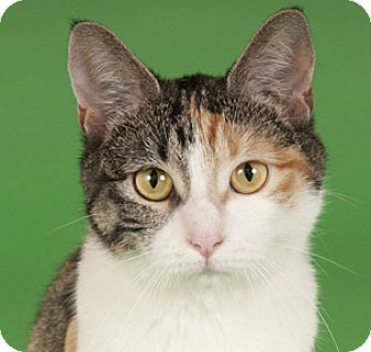 Chicago, IL Calico. Meet Sandy, a cat for adoption. http