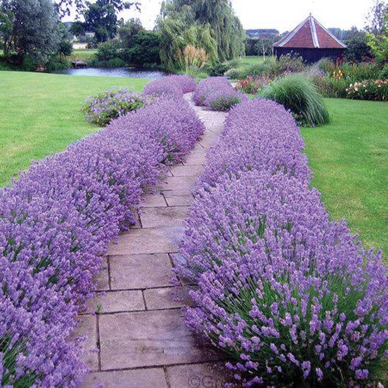 Lavender Hidcote is one of our very best-selling sun perennials! It makes the perfect low-growing hedge ! This drought-tolerant & hardy perennial has extremely fragrant foliage & flowers that are enjoyable in the garden, or cut-fresh & added to flower arrangements! Lavender Hidcote can also be cut & dried for use in potpourri & other dried flower arrangements. Because it is an English lavender, its fragrance is sweeter than that of the other variants that we carry ...