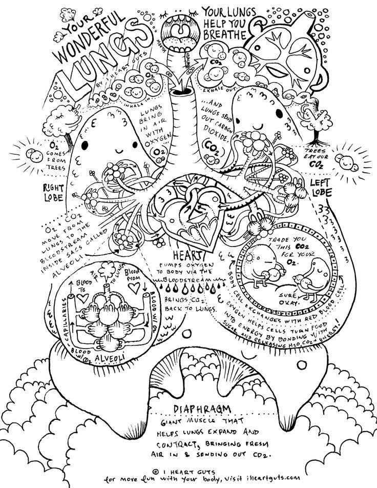 Respiratory System Coloring Page | Anatomía humana, Biología y Anatomía
