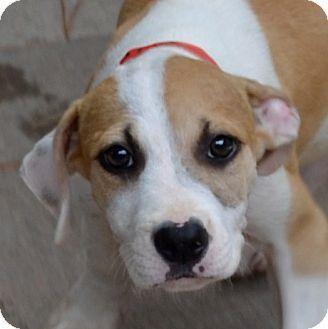 Manassas Va Boxer Labrador Retriever Mix Meet Clementine A
