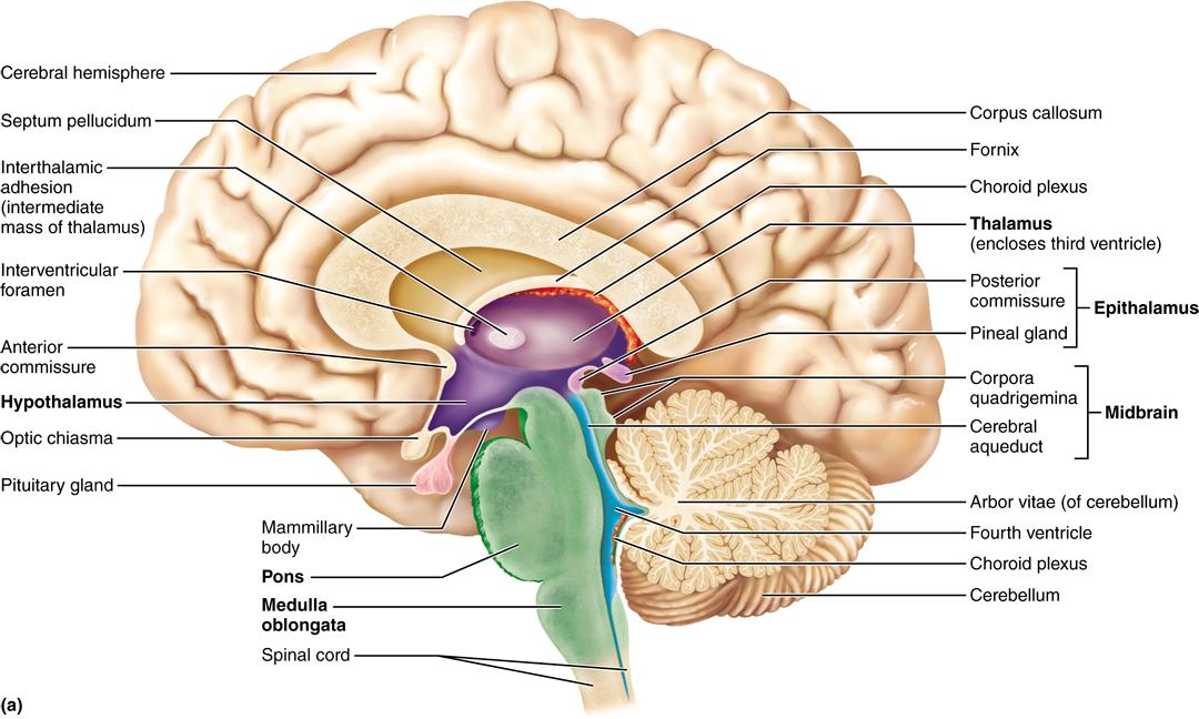12.3 The diencephalon includes the thalamus, hypothalamus, and ...