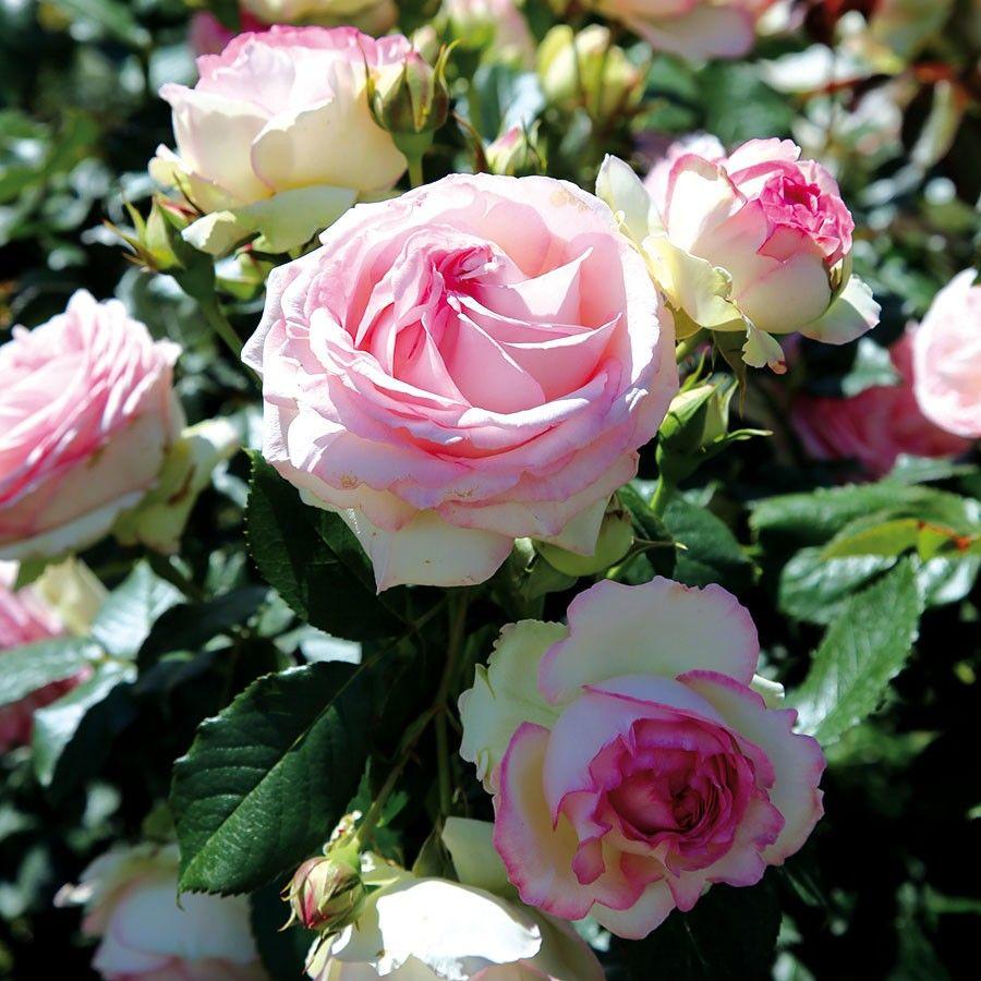 Strauchrose Eden Rose 85 online kaufen & bestellen
