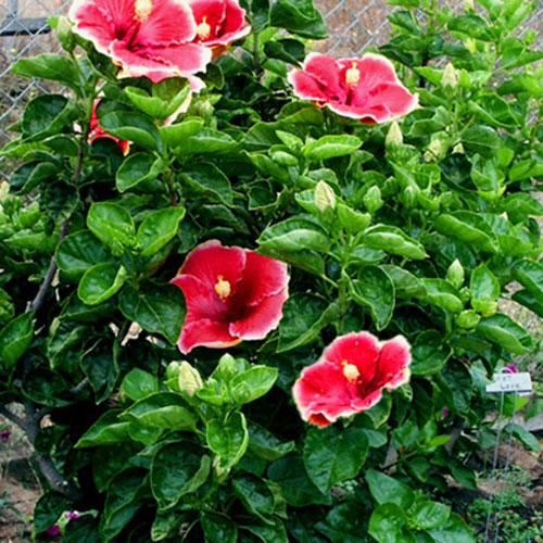 Hibiscus Plant Buy Plants Online Plant Pk Flower Garden Design