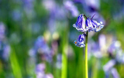 Garden spring flowers plants and gardens english bluebell and other bulbs to fall plant for spring flowers mightylinksfo
