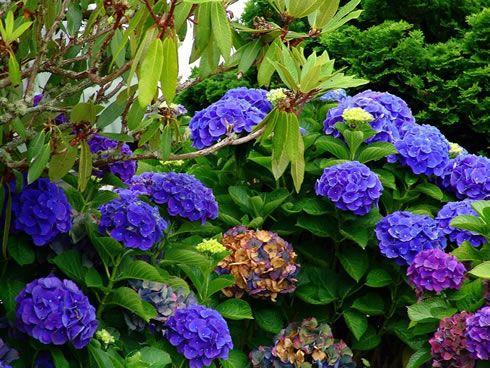 Como Cultivar hortensias Azules para Jardines Hermosos Jardinería