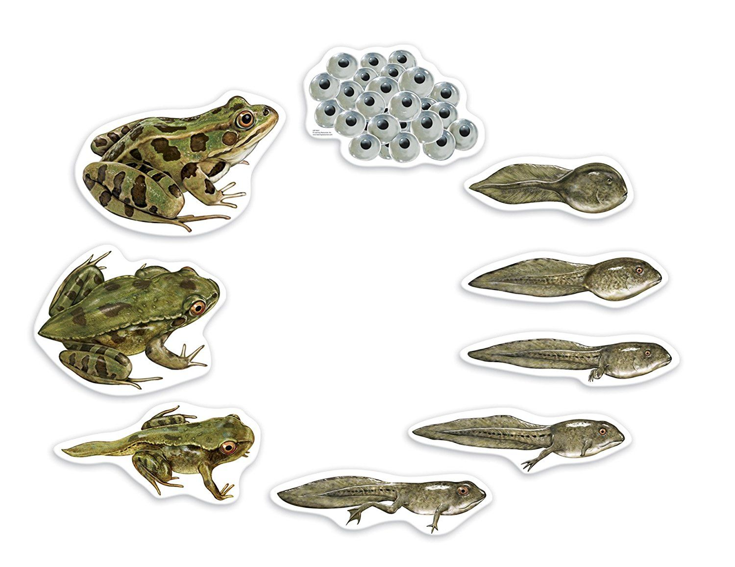 Life Cycle Of A A Frog Activities And Games For Kids