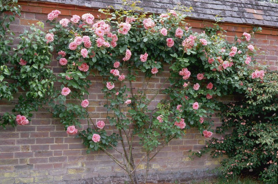How To Accent Your Landscape With Climbing Roses Rose