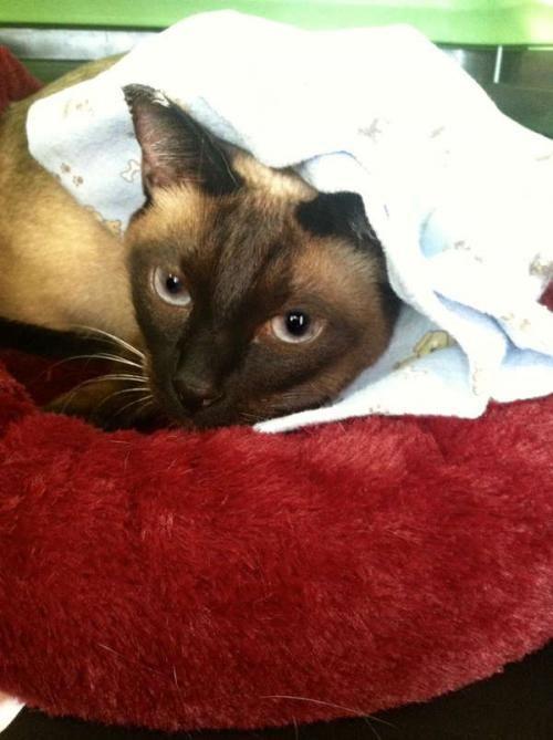 Adopt Mason On Siamese Cats Australian Cattle Dog Blue Heeler Cats