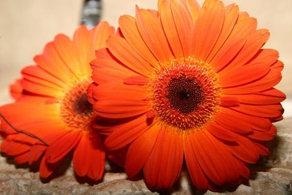 How To Paint Watercolor Gerbera Daisies With Images Daisy