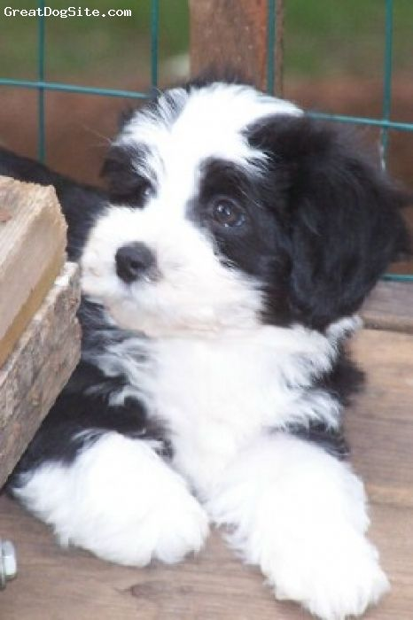 A Photo Of A 9 Weeks Old, Black And White, Havanese -7182