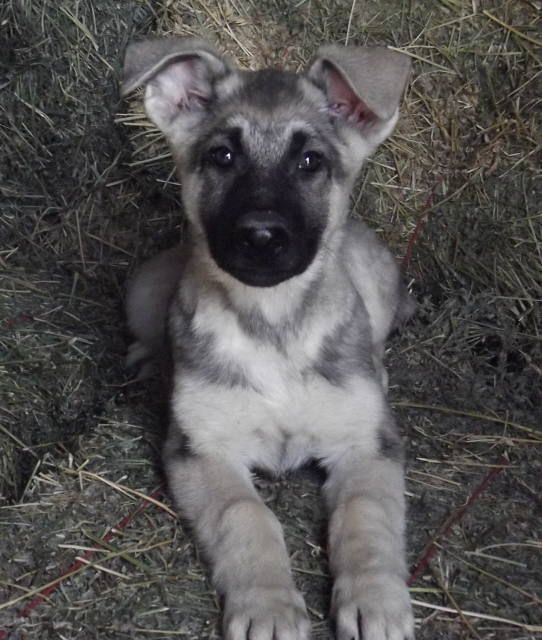 Prairieacreskennel Com German Shepherds Silver Sable Male