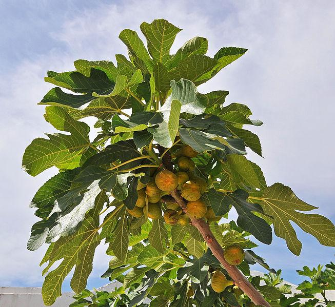 Смоковницы обычно сажали в виноградниках, чтобы виноградная лоза обвивала ствол дерева. Выражение «жить под виноградником и смоковницей» иносказательно означало мир и благосостояние (3Цар 4:25).