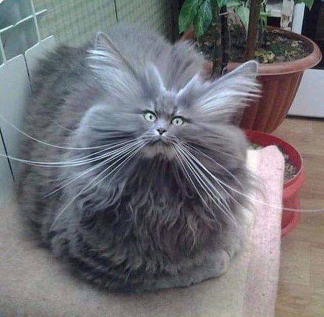 Photo of Estos gatos son increíblemente esponjosos.