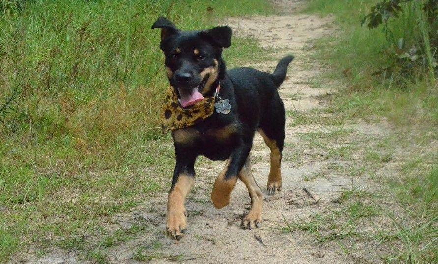 Shepweiler Puppy German Shepherd Rottweiler Mix Dog Mixes