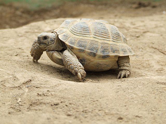 Tortoises Turtles おしゃれまとめの人気アイデア Pinterest Bethann Mayberry カメ リクガメ 亀