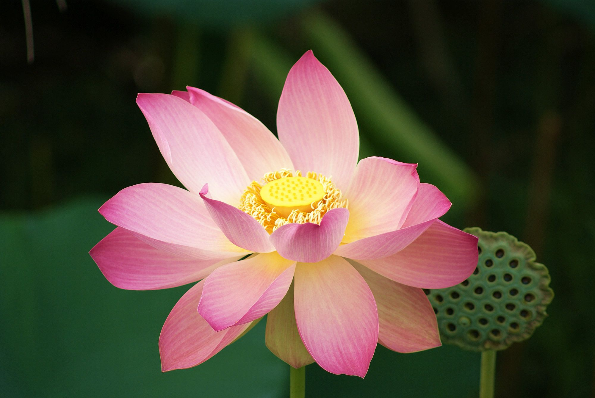 Water Lily, Lotus Flower, Guyana Click Click Pinterest