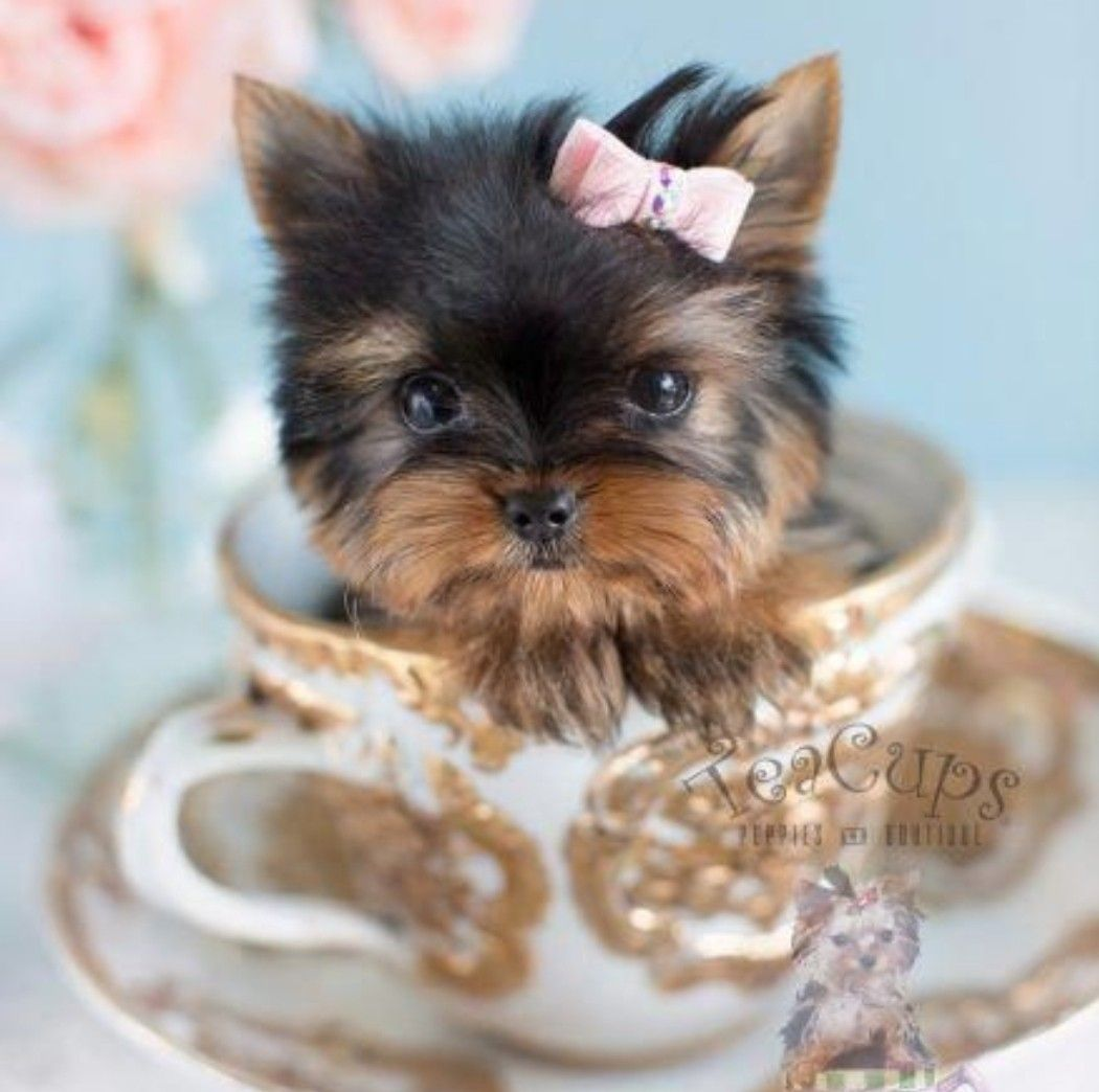 Pin By Kat Kay On Make You Awww In 2020 Teacup Yorkie Puppy Yorkie Puppy Teacup Animals