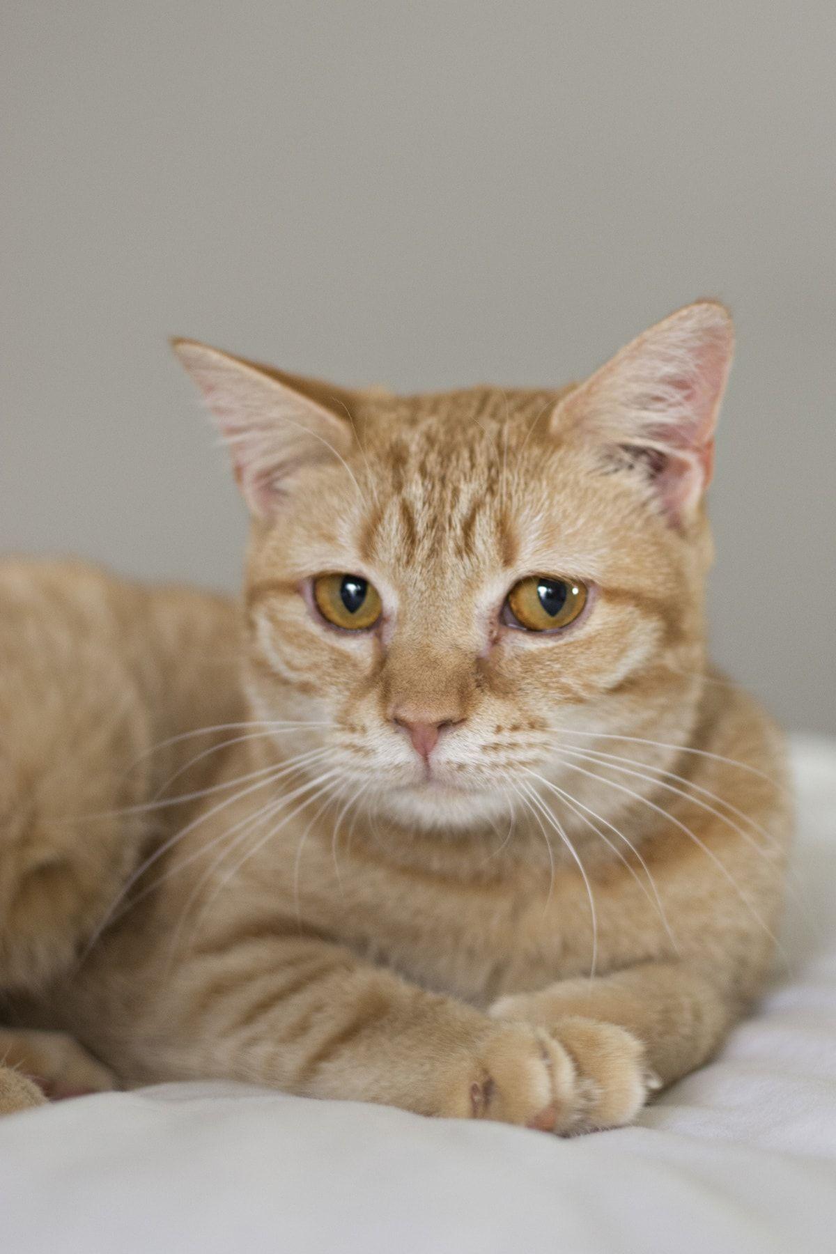 Welcome Bee Maya Cuckoo4design Best Cat Breeds Cool Cats Cat Breeds