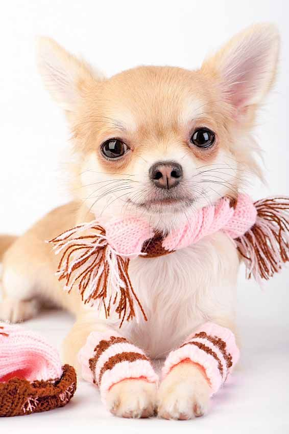 Chihuahua Names Big Names For The Little Guy Chihuahua Puppies