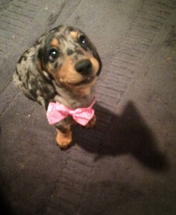 Favorite Images Of Dachshunds Dachshund Dog Breeds Pets
