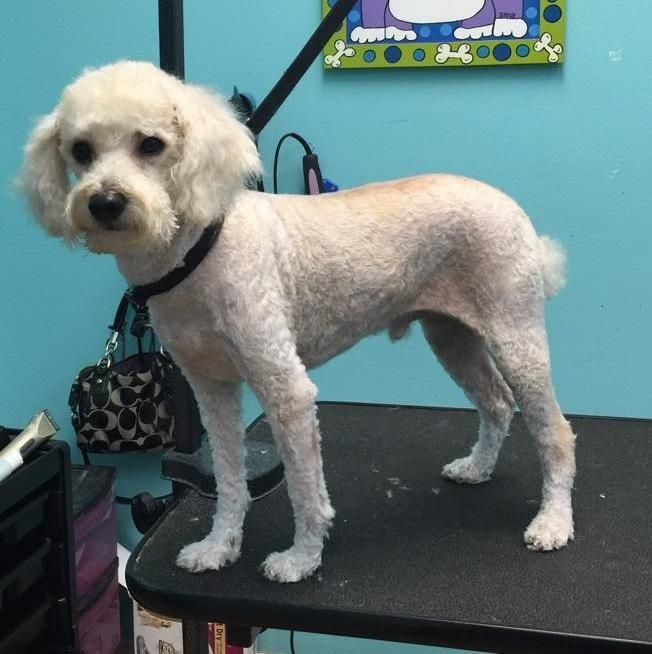 Adopt Duncan On Poodle Mix Dogs Big Brown Eyes Poodle Mix