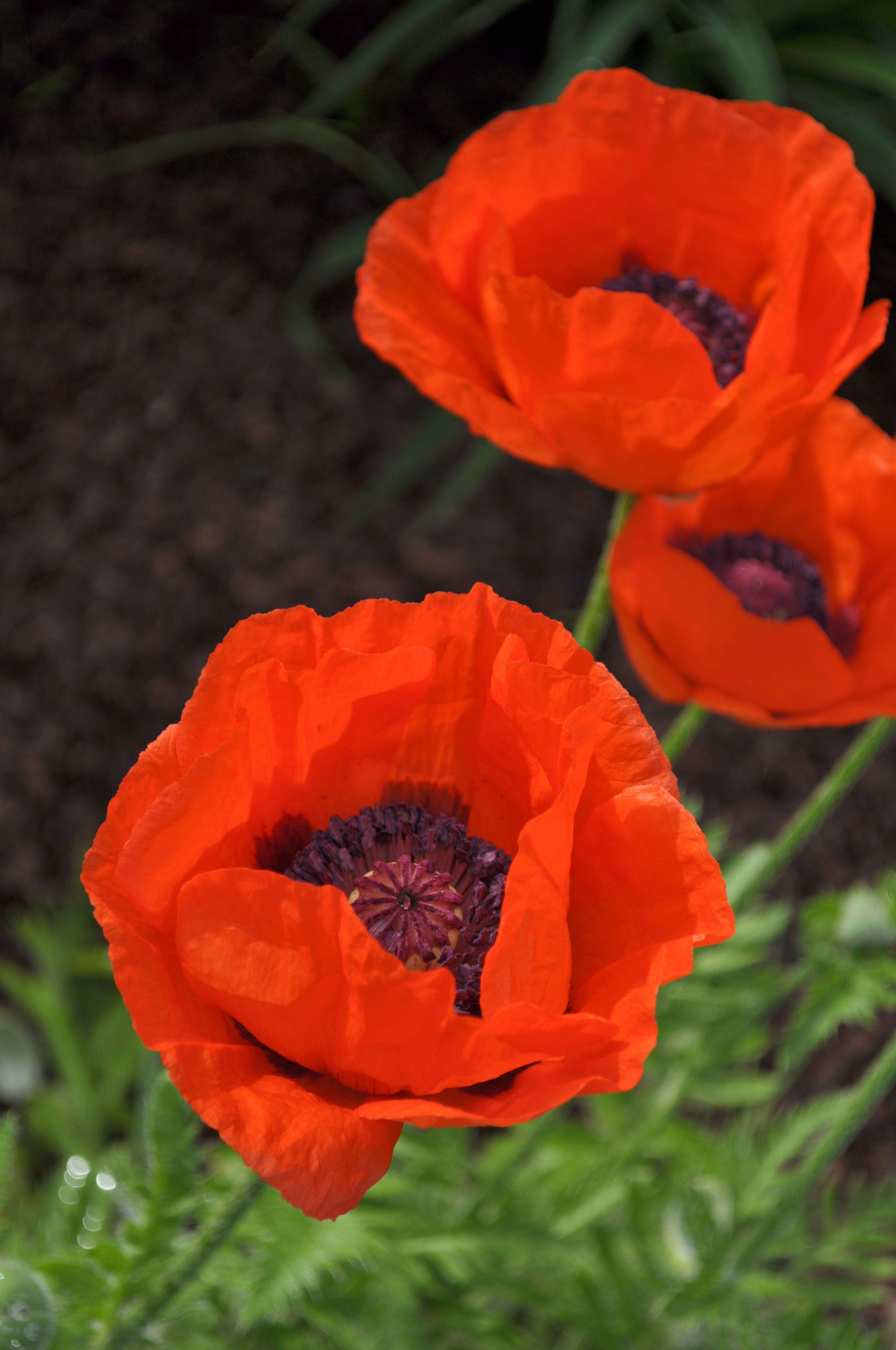 Orange Oriental Poppies From Our Blogger Suzannes Flower Garden