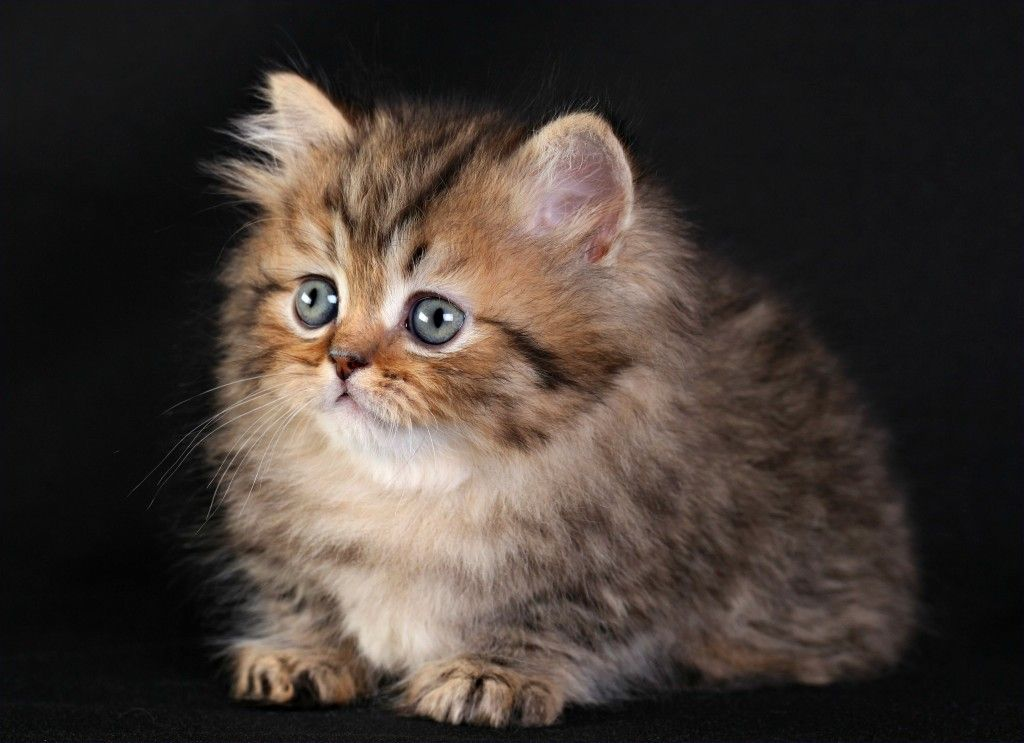Microchip Shaded Golden Rug Hugger Kitten Ultra Rare Persian Kittens For Located In Northern Missouri Shipping Available