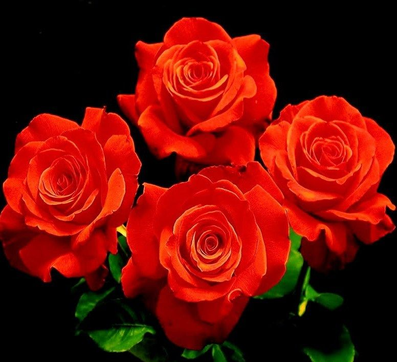 Let Freedom Ring Hybrid Tea Rose Bright Light Red Many Think The Pinnacle Of A Rose Is A Long Stem Red Flower Topped W Hybrid Tea Roses Best Roses Flowers