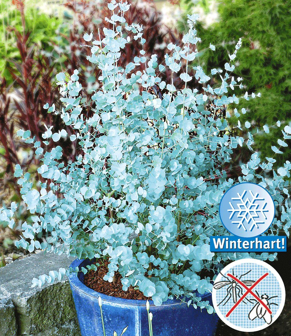 Winterharter Eukalyptus Azura planten Pinterest