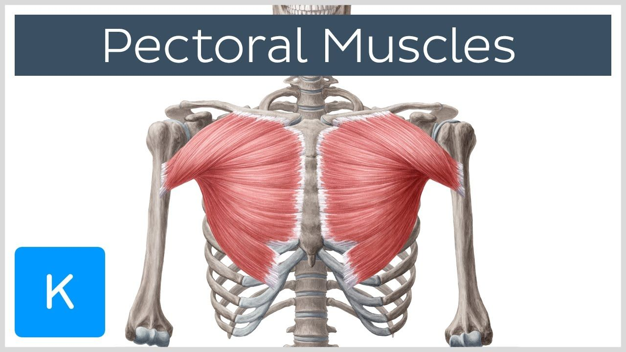 Chest Muscles Anatomy Pectoral Muscles Area, Anatomy & Function ...